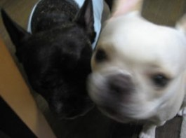 frenchbulldog メグ:5歳6ヶ月、愛:もうすぐ3歳