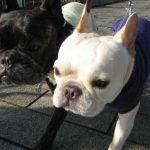 french bulldogメグ8歳:愛5歳3ヶ月