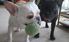 frenchbulldog メグ:5歳3ヶ月、愛:2歳9ヶ月