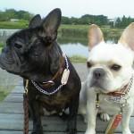 frenchbulldog  メグ:5歳1ヶ月、愛:2歳6ヶ月