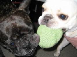 frenchbulldog メグ:5歳7ヶ月、愛:3歳1ヶ月