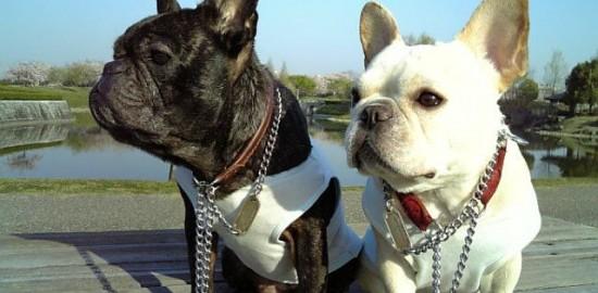 french bulldog めぐ:7歳11ヶ月、愛:5歳4ヶ月