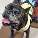 french bulldog メグ14歳8ヶ月