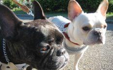 french bulldog メグ:7歳、愛:3歳5ヶ月
