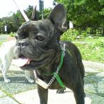 french bulldog メグもうすぐ5歳